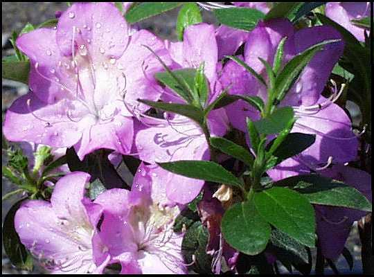 Lavender Iveryana
