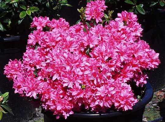 Sherwood Pink